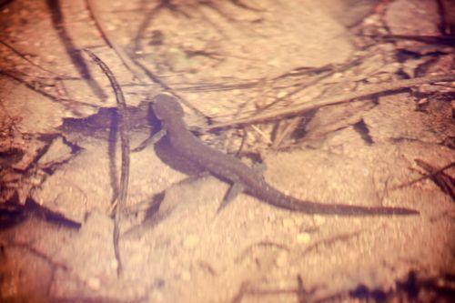 April26Salamander1